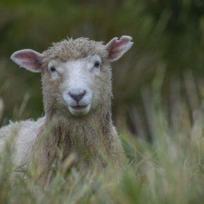 Novozélandské ovce